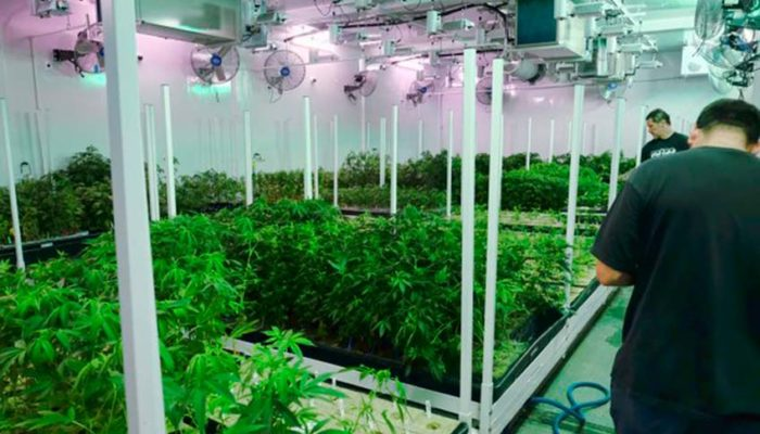 Caretakers oversee a grow room